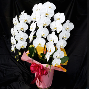 お祝い用 個人向き胡蝶蘭「桐」