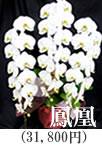 胡蝶蘭5本立ち「葵」26,250円