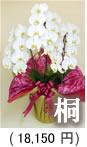 胡蝶蘭3本立ち「桐」15,750円