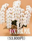 豪華胡蝶蘭5本立ち「DX鳳凰」52,500円