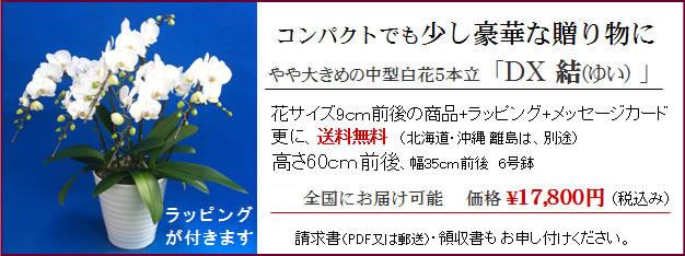 北海道に送れるミディー胡蝶蘭