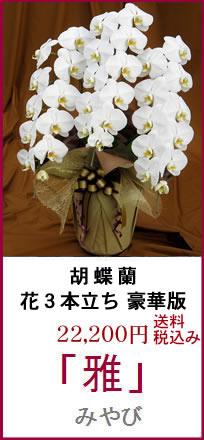 胡蝶蘭ギフト:雅 花3本立ち